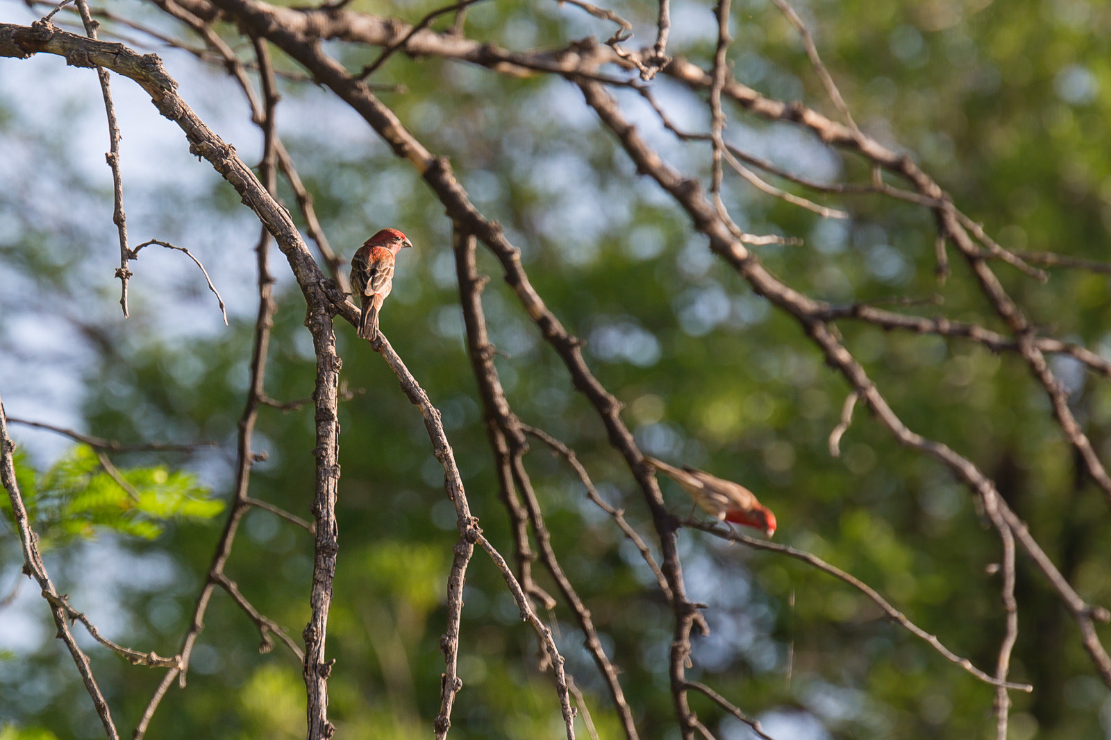 House finches in Big Bend